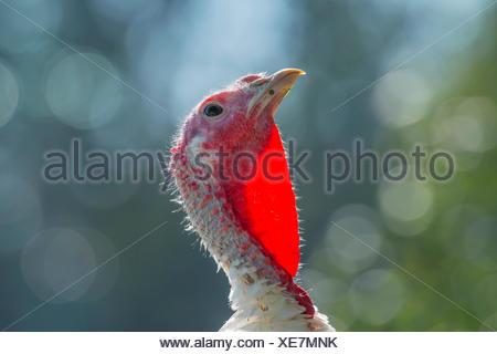 common turkey (Meleagris gallopavo), portrait of a young turkey , Germany, North Rhine-Westphalia - Stock Photo