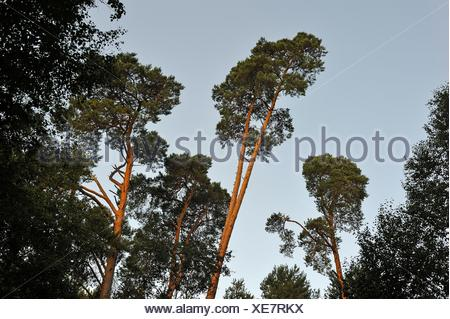 pine tree wood at Rochers d´Angennes site in the Forest of Rambouillet, Haute Vallee de Chevreuse Regional Natural Park, Yvelines department, - Stock Photo