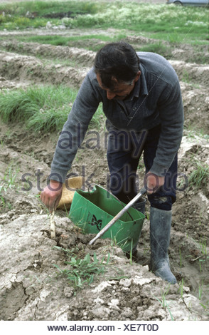 Man harvesting asparagus just after Chernobyl nuclear accident Greece - Stock Photo