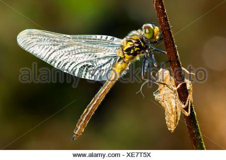 Common Darter - hatching out / Sympetrum striolatum - Stock Photo