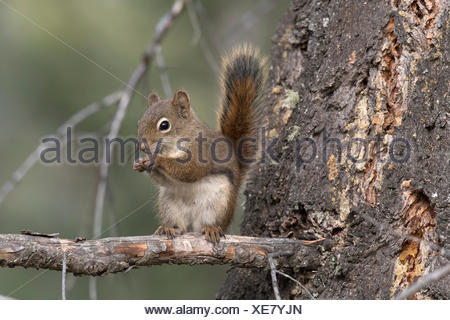 Red Squirrel sitting on branch looking at viewer. (Tamiasciurus hudsonicus).  Alberta, Canada. - Stock Photo