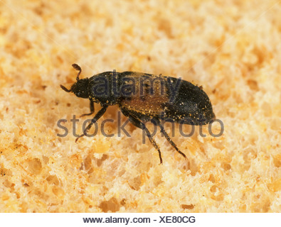 Larder beetle Dermestes lardarius store pest on bread - Stock Photo