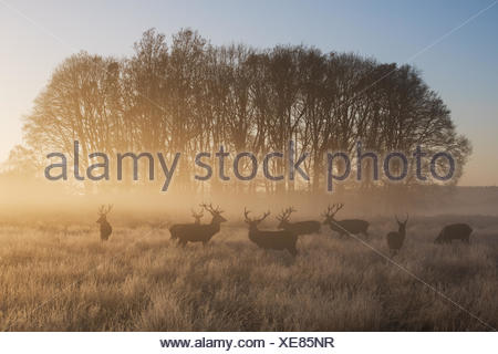 A large group of red deer stags, Cervus elaphus, in Richmond Park at dawn. - Stock Photo