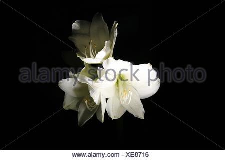Close-Up Of White Amaryllis Against Black Background - Stock Photo