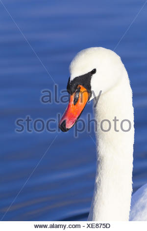 Mute swan, Cygnus olor, portrait, - Stock Photo
