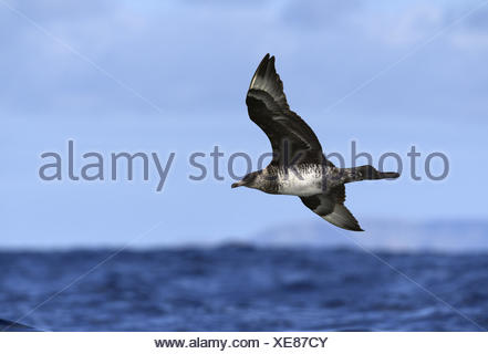Pomarine Skua - Stercorarius pomarinus - Stock Photo