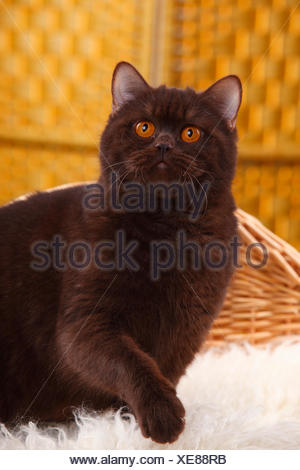 British Shorthair Cat chocolate coat - Stock Photo