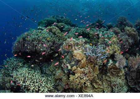 Colorful Anthias in Coral Reef, Pseudanthias sp., Melanesia, Pacific Ocean, Solomon Islands - Stock Photo