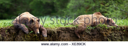 Grizzly bear close up walking directly over a trail at the khutzeymateen grizzly bear sanctuary near prince rupert, Canada - Stock Photo