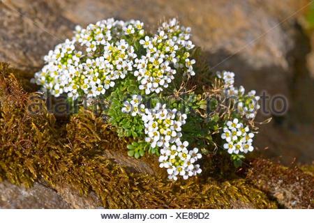 Chamois Cress, Chamois Grass (Hornungia alpina, Pritzelago alpina, Hutchinsia alpina, Iberidella alpina), blooming, Germany - Stock Photo