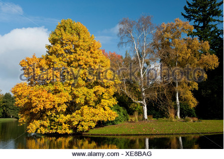 Trees in autumn colors, Karlsaue park, Kassel, North Hesse, Hesse, Germany, Europe - Stock Photo