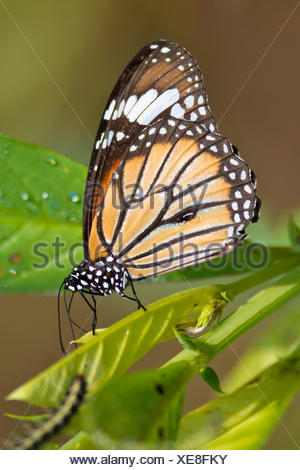 Common Tiger Butterfly - Stock Photo