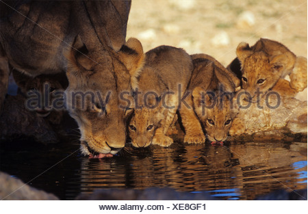 Lioness with cubs drinking Panthera leo - Stock Photo