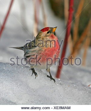 Common Redpoll on Snow - Stock Photo
