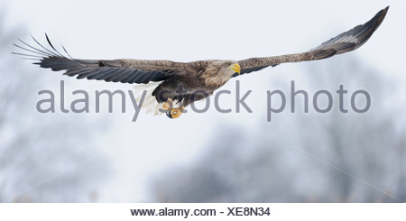 white-tailed eagle (haliaeetus albicilla), feldberger seenlandschaft, mecklenburg-vorpommern, germany Stock Photo