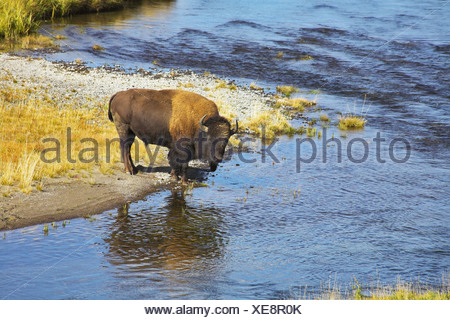 Bison on a watering place - Stock Photo