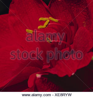 Amaryllis, dust vessels, flower pollen, close up, flower, ornamental flower, ornamental plant, plant, blossom, blossom, red, petals, pollen, polling, - Stock Photo