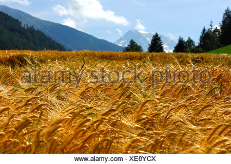 Golden yellow ears of barley in a field in the Alps on a sunny summer day, Orsi, Valais, Switzerland, Europe - Stock Photo