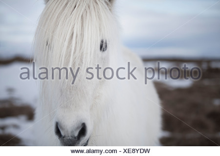 Close up of white horses face - Stock Photo