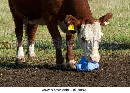 Livestock - Crossbred beef cow licking a salt block / Alberta, Canada. - Stock Photo