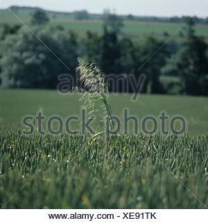 Wild oats Avena fatua flowering panicle in wheat crop in ear - Stock Photo