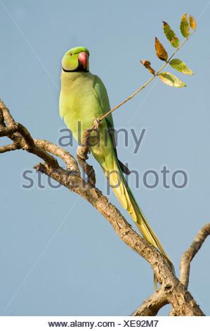 Rose Ringed Parakeet male Psittacula krameri India - Stock Photo