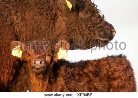 Galloway cow and calf - Stock Photo