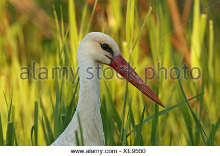 white stork (Ciconia ciconia), portait in front of reed, Turkey, Goeksu Delta, Silifke - Stock Photo