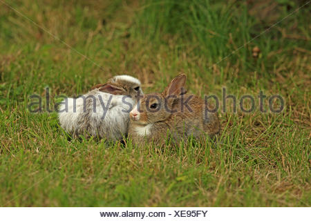 European rabbit (Oryctolagus cuniculus), two rabbits sitting next to each other in a meadow, partial leucism, Germany, Schleswig-Holstein, Sylt - Stock Photo