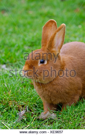 Domestic rabbit - Stock Photo