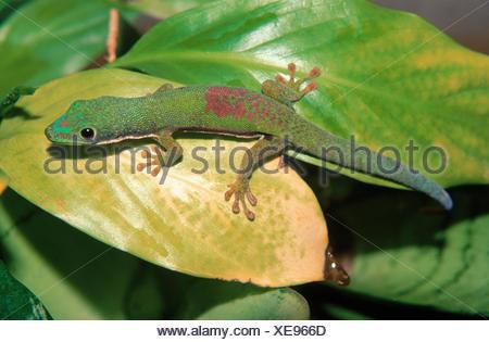 Lined Day Gecko (Phelsuma lineata) - Stock Photo