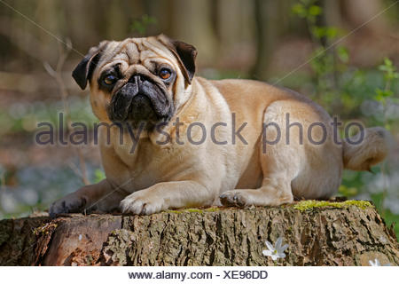 Pug lying on tree trunk, Schleswig-Holstein, Germany - Stock Photo