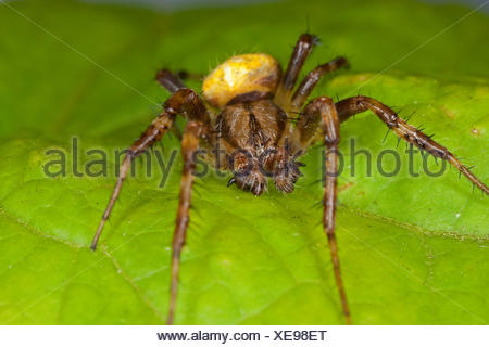 fourspotted orbweaver (Araneus quadratus), portrait on a leaf with the chelicerae (mouthparts) and the pedipalps (transformed extremities of arachnids in the head area) visible well - Stock Photo