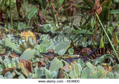 American Alligator is endemic to the southeastern United States - Stock Photo