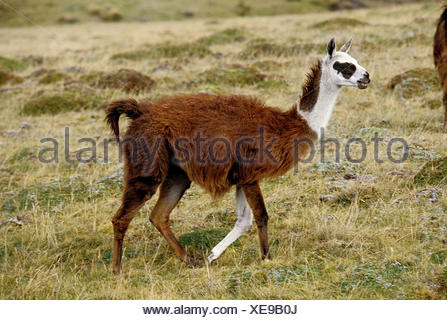 LLAMA lama glama, ADULT WALKING THROUGH DRY GRASS, ECUADOR - Stock Photo