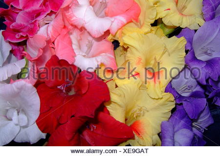 multi-coloured gladiolus blue flower flowers plant coloured petals bloom cup - Stock Photo