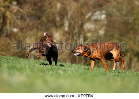 Rhodesian Ridgeback and brown Labrador Retriever, Canis lupus familiaris, playfighting on a meadow - Stock Photo