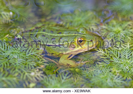 Pool frog in the water - Stock Photo
