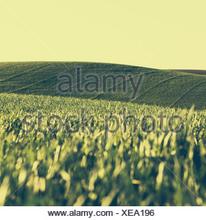 A view across the ripening stalks of a food crop, cultivated wheat growing in a field near Pullman, Washington, USA - Stock Photo