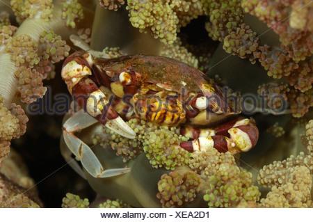 Coral crab, Lissocarcinus leavis, Alor, Indonesia - Stock Photo
