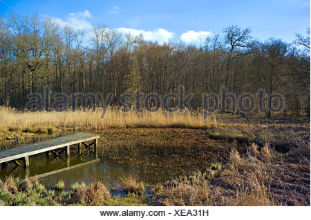crab's-claw, water-soldier (Stratiotes aloides), silting up pond with boardwalk and water-soldier, Germany, Lower Saxony - Stock Photo
