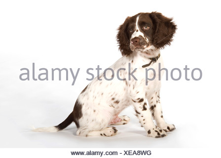 English Springer Spaniel Dog UK - Stock Photo
