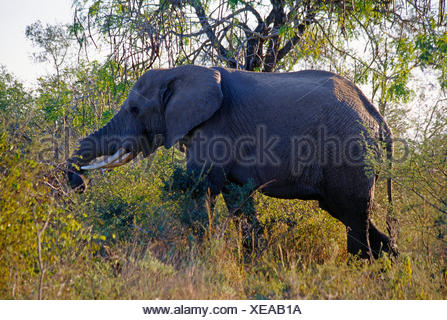 South Africa. Kruger National Park. Wildlife. Elephant. - Stock Photo
