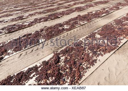 Vitis vinifera, Grape, Purple. - Stock Photo