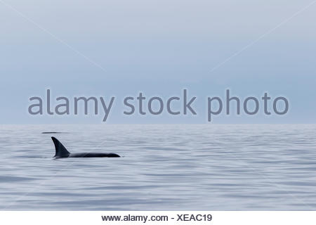Northern resident A30 killer whale (Orcinus orca) travelling through the fog in Queen Charlotte Strait off northern Vancouver Island, British Columbia, Canada. - Stock Photo