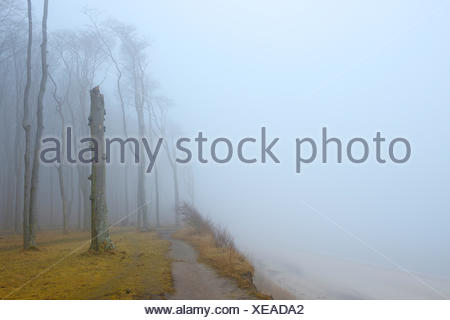 common beech (Fagus sylvatica), coastal beech forest and Baltic Sea with path and fog, Ghost Wood, Germany, Mecklenburg-Western Pomerania, Bad Doberan, Nienhagen - Stock Photo
