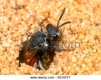 Grosse Blutbiene, Grosse Blut-Biene (Sphecodes albilabris), Weibchen verlaesst nach Eiablage das Nest der Fruehlings-Seidenbiene - Stock Photo