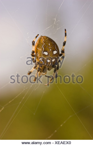 animal animals autumn banded britain british brown climb climbing cobweb cobwebs countryside dorset dot dots england english - Stock Photo