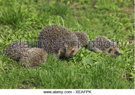 European Hedgehog, erinaceus europaeus, Female with Babies, Normandy in France - Stock Photo