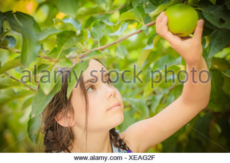 Girl (6-7) picking green apple from tree - Stock Photo
